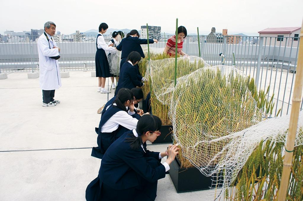屋上で小麦の栽培研究に挑戦した。