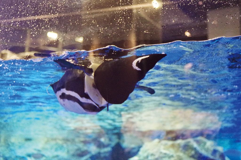 ペンギンロボット「もるペン!」。全長50 cm。水中での前進,旋回,潜水,浮上が可能。